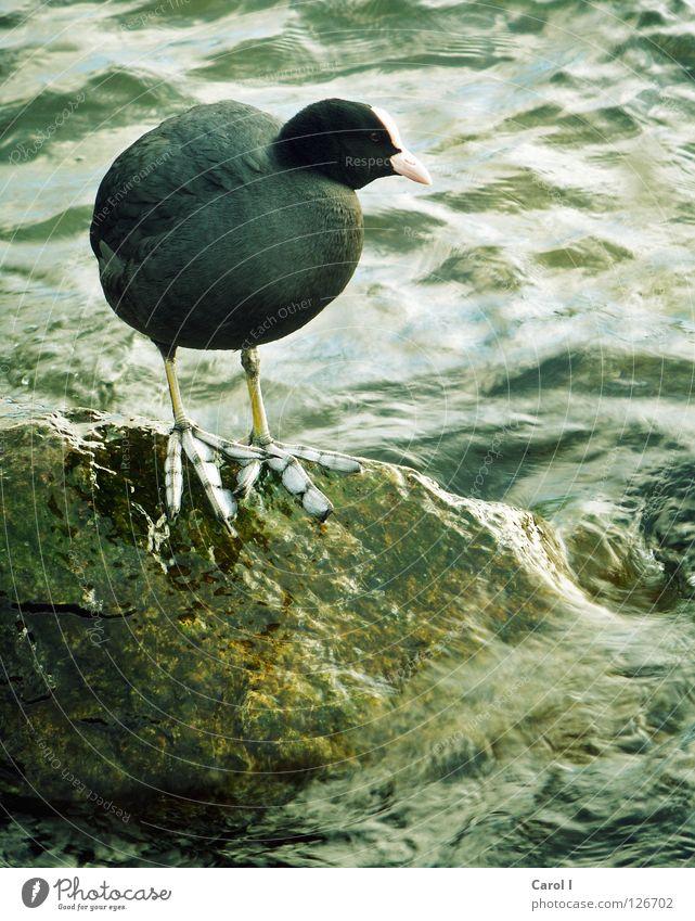 überdimensional grosse Füsse Vogel groß stehen schwarz grün Sturm Schnabel Wellen wellig See Meer Seeufer Feder Schwimmhilfe Rettung Sicherheit dunkel Blässhuhn