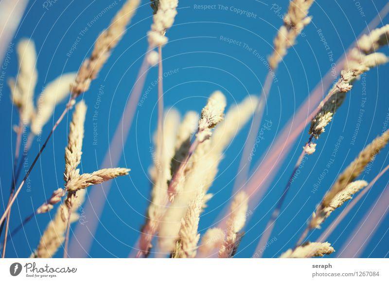 Gräser Kräuter & Gewürze Sommer Umwelt Natur Pflanze Blume Gras Blatt Wiese Blühend Wachstum frisch natürlich Idylle Halm ländlich Schilfrohr Riedgras Röhricht