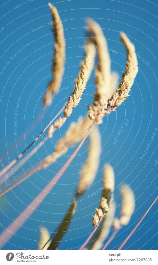 Grasblüte Strukturen & Formen Samen Blüte Ähren Blühend Botanik Pflanze reif Makroaufnahme Halm Natur Blatt habitat Stengel Blumenwiese Wiese Schilfrohr