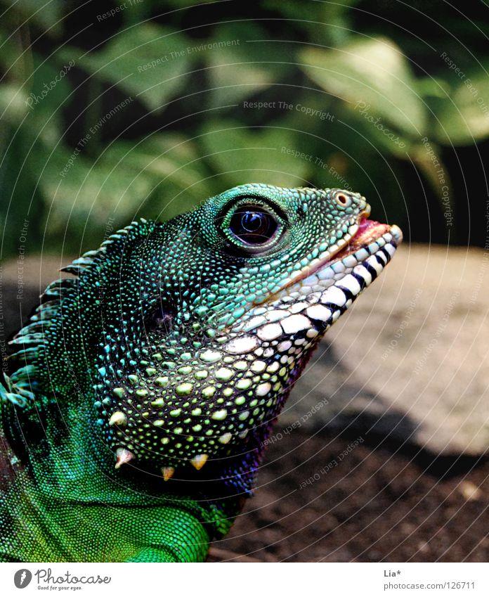 Exot 2 grün Auge Farbe Kopf außergewöhnlich Zoo Drache exotisch Zunge Reptil Stachel Echsen Schuppen Dinosaurier Leguane Agamen