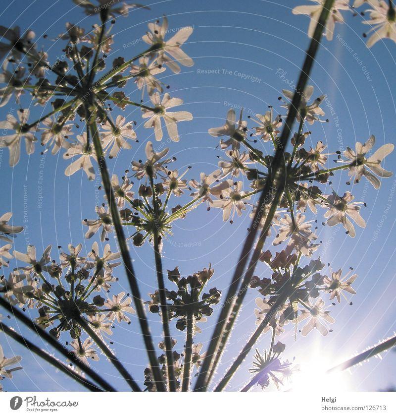 Sommerblümchen.... Natur Himmel weiß Sonne Blume grün Pflanze Sommer Wolken Lampe Wiese Blüte Landschaft Zusammensein Beleuchtung Wachstum
