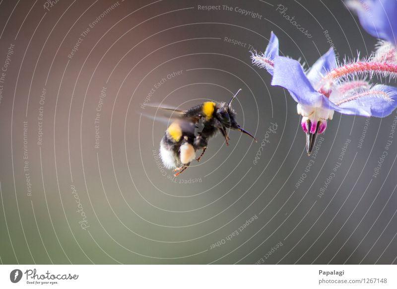 Schwebeflug Natur Frühling Sommer Klima Schönes Wetter Pflanze Blüte Tier Wildtier Hummel Insekt 1 fliegen natürlich schön Umweltschutz Park Fell Flügel Pollen