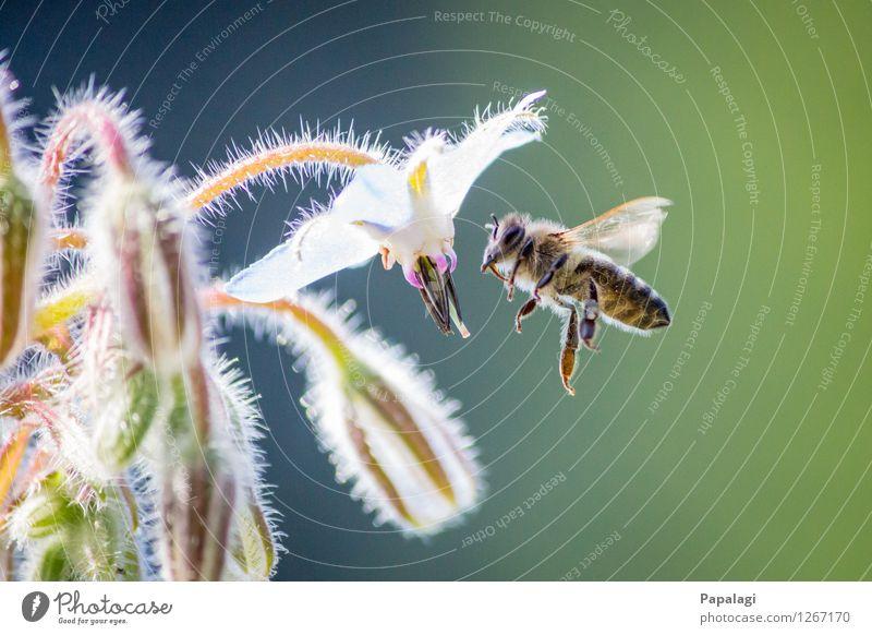 Fleißiges Bienchen Umwelt Natur Luft Pflanze Tier Biene 1 fliegen Sommer Frühling Schönes Wetter Blüte Park Wiese Fell Wildtier Flügel Insekt Pollen Nektar