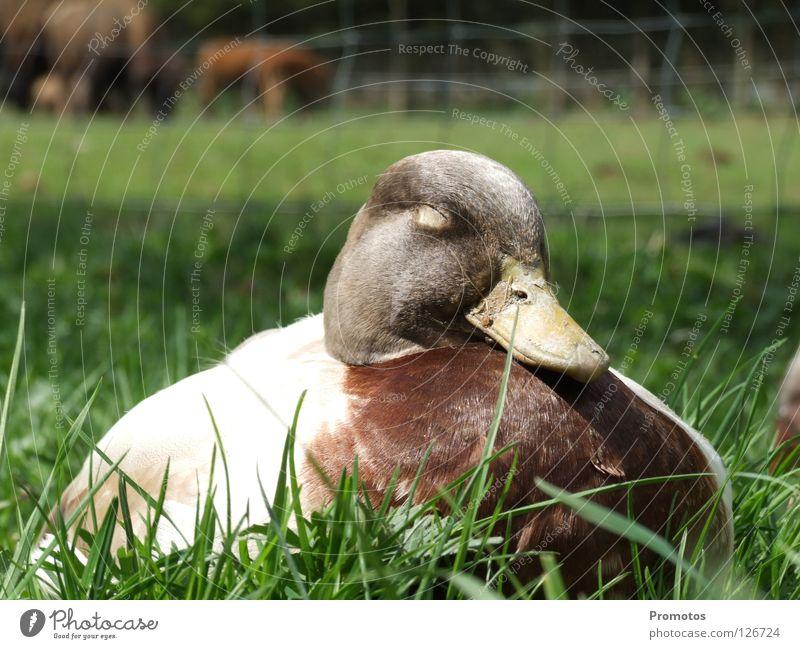 Sitting Duck Natur Vogel schlafen träumen Zufriedenheit Außenaufnahme Tier Zoo sitting duck lazy Ente Faulheit Nahaufnahme zutraulich