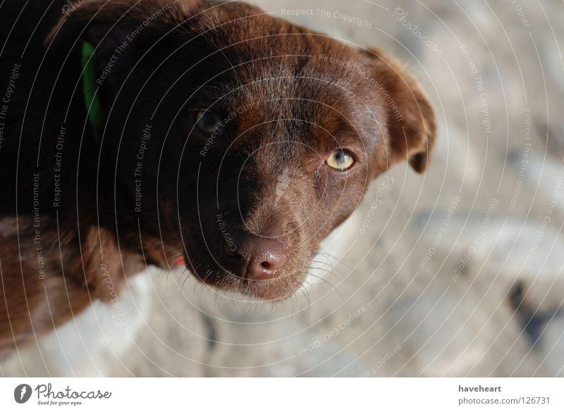 Glance / der Blick / Spojrzenie rot Auge Tier Stil Hund tierisch Säugetier