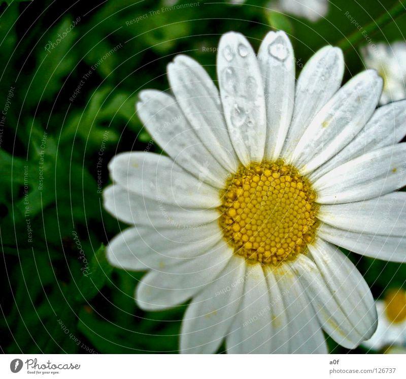 sun weiß Blume grün gelb Frühling Regen Wassertropfen nass feucht spritzen