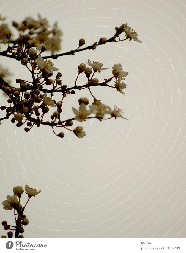 Beginn weiß Baum Blüte Frühling Park frisch neu Asien Ast Japan Zweig Blütenknospen Geäst aufwachen Fernost