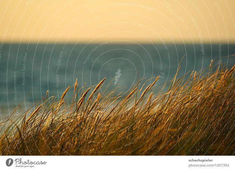 Dünengras Umwelt Natur Landschaft Pflanze Himmel Wolkenloser Himmel Sonnenlicht Sommer Schönes Wetter Strandhafer Küste Nordsee Insel Sylt Erholung Erwartung