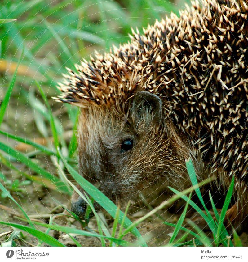Igelchen, Igelchen ... Natur Tier Gras Frühling Nase frei gefährlich Ohr Schutz beobachten Säugetier stachelig stechen Stachel Defensive Igel