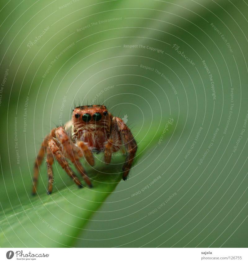 schau mir in die augen grün Blatt Auge Tier Beine braun Wildtier Spinne Härchen Spinnenbeine Springspinne