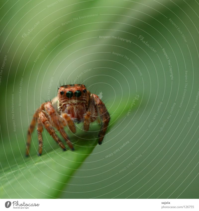 schau mir in die augen Tier Wildtier Spinne Springspinne 1 braun grün Härchen Auge Beine Blatt Farbfoto Gedeckte Farben Außenaufnahme Nahaufnahme Makroaufnahme