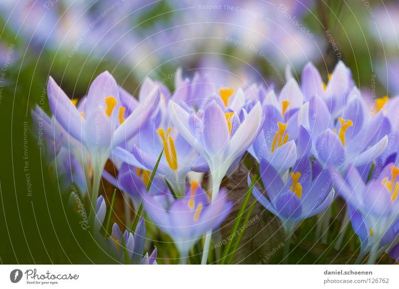 und der Frühling kommt doch Krokusse Wachstum Blüte rosa violett gelb Gras Hintergrundbild Blütenblatt Wiese mehrere Makroaufnahme Nahaufnahme Blühend orange