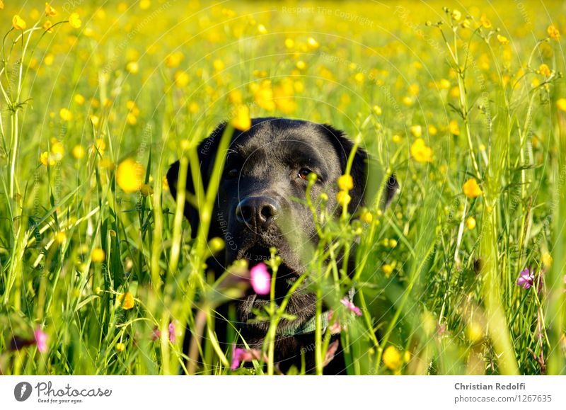 Sommerwiese Natur Landschaft Pflanze Wiese Tier Haustier Hund 1 Farbfoto mehrfarbig Außenaufnahme Tag Zentralperspektive Blick
