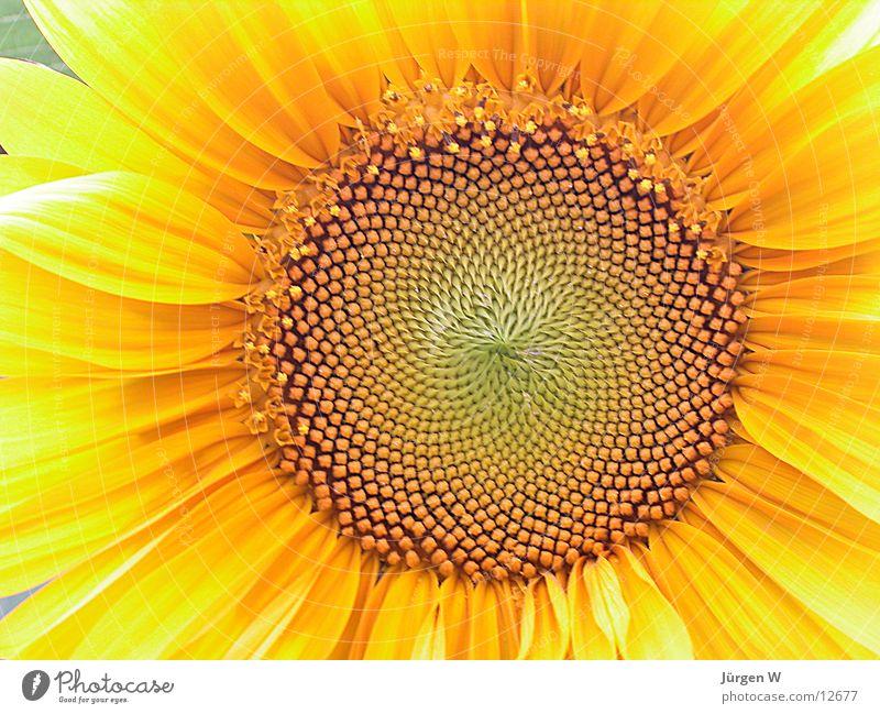 Sonnenblume gelb Blüte Blatt Natur Nahaufnahme sunflower bloom sheets