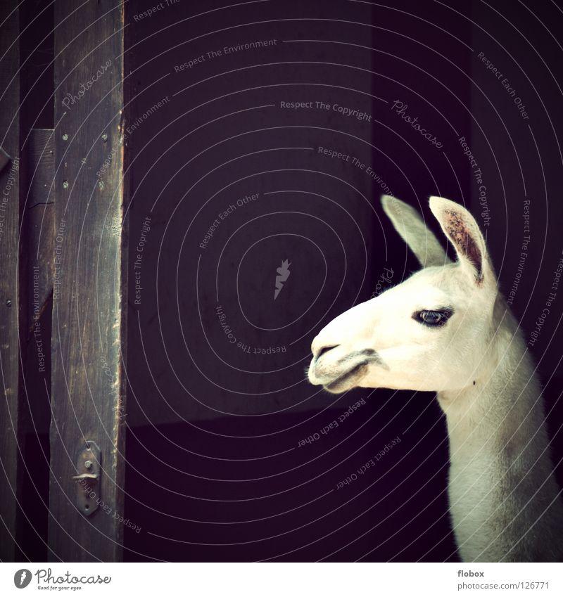 Ein Königreich für ein Lama Freude Tier Kopf Fell Zoo obskur Säugetier Warnhinweis Zirkus Maul Schnauze Gehege Kamel Südamerika Zigarettenmarke Hochebene