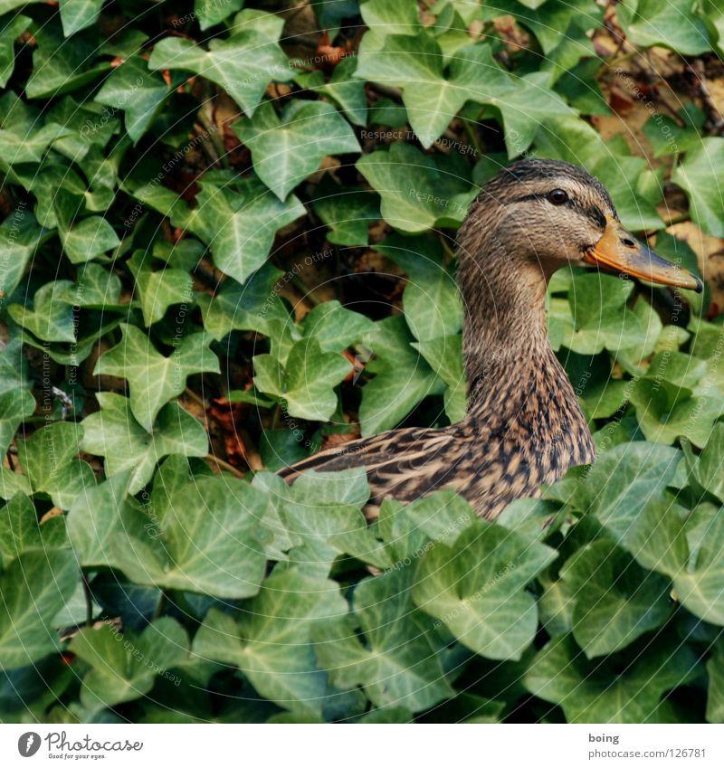 Ducktari Tier Garten Park Vogel süß Wut Ente Efeu Nest Schwalben Kinderzimmer knusprig