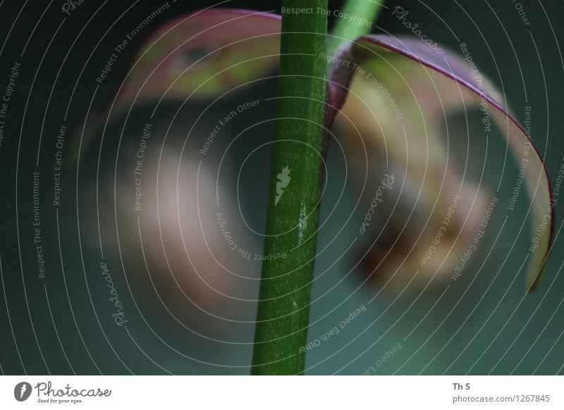 Blatt Natur Pflanze Frühling Sommer Blühend verblüht ästhetisch authentisch einfach elegant natürlich braun grün rot Gelassenheit geduldig ruhig einzigartig