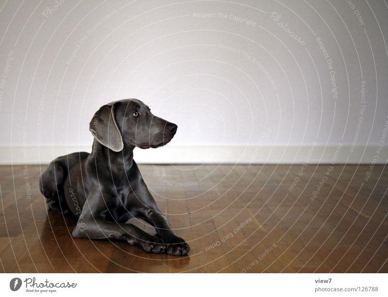 Platz Hund Parkett Holz Wand Bodenbelag Säugetier Weimaraner Raum Zufriedenheit Wegsehen Textfreiraum rechts Vor hellem Hintergrund Tierporträt Rassehund
