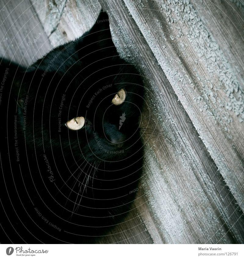 wartend Katze Tier schwarz Auge warten Haustier Säugetier Hauskatze Schnurrhaar Leopard Schnurren Miau Katzenauge fauchen