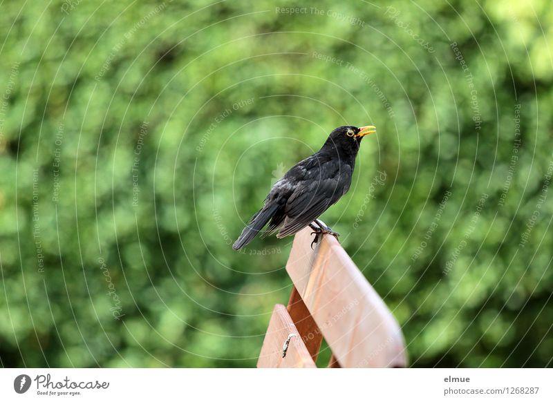 ne beschissene Situation Schönes Wetter Sträucher Garten Vogel Amsel Amselmännchen Vogelschiss Rest sitzen authentisch frech einzigartig schwarz Reinlichkeit