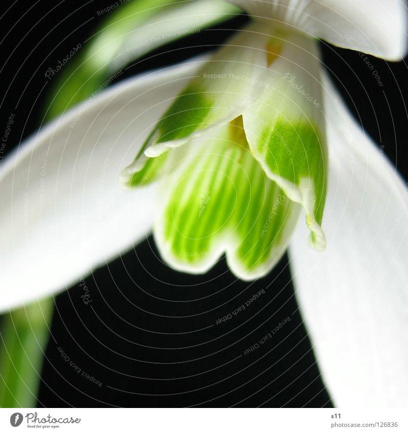 Frühlingslicht Lampe Natur Pflanze Blume Blüte Streifen leuchten Wachstum dunkel grün schwarz weiß Glocke Schneeglöckchen Blütenblatt gestreift herzförmig