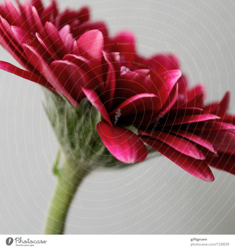 rot Blume Blüte Blütenblatt Pflanze grün Wachstum Makroaufnahme Nahaufnahme Natur Blühend