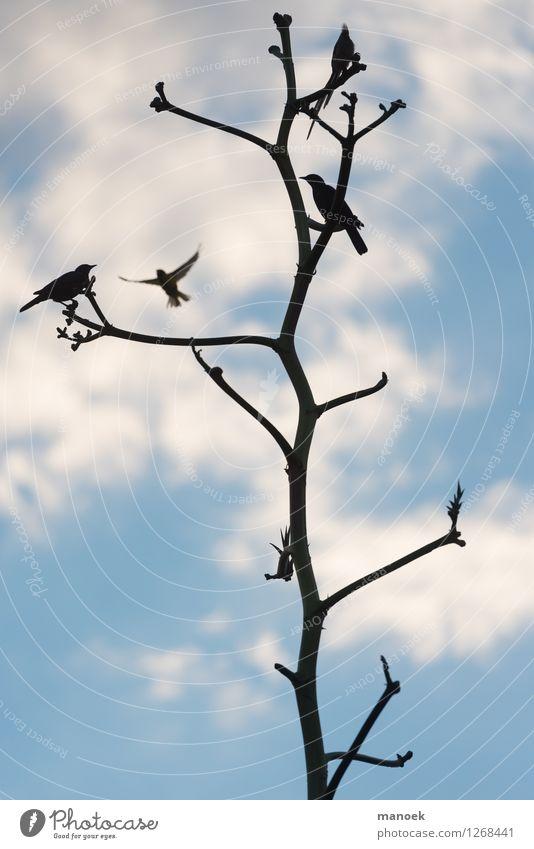 Vögel und Baumsilhouette, Namibia Himmel Natur blau Pflanze Baum Tier schwarz Umwelt Vogel Wildtier ästhetisch Tiergruppe Schönes Wetter dünn Afrika Namibia