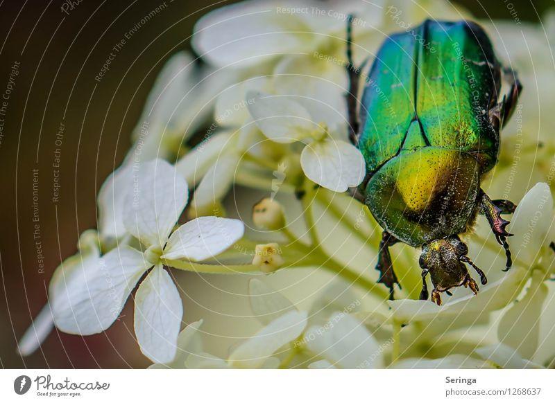 Rosenkäfer Natur Pflanze Sommer Landschaft Tier Wiese Garten fliegen Park Feld Insekt Tiergesicht krabbeln Käfer