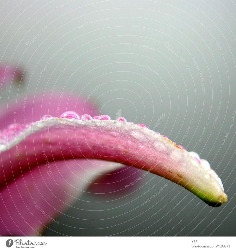 LillyPerl II Natur Pflanze schön grün weiß Blume Blüte rosa Regen glänzend elegant modern Wassertropfen nass Vergänglichkeit Schifffahrt
