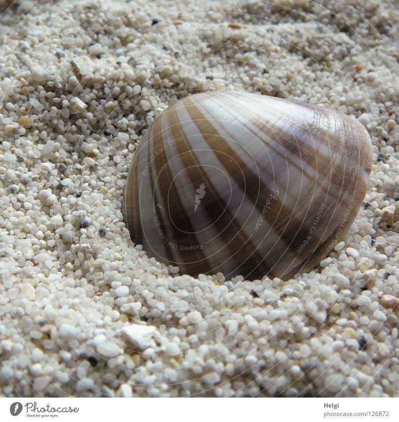 gestreifte Muschel liegt im Sand Strand finden Streifen Muster Meer Sandkorn Kies Kieselsteine Küste schick schön Ferien & Urlaub & Reisen weiß braun beige