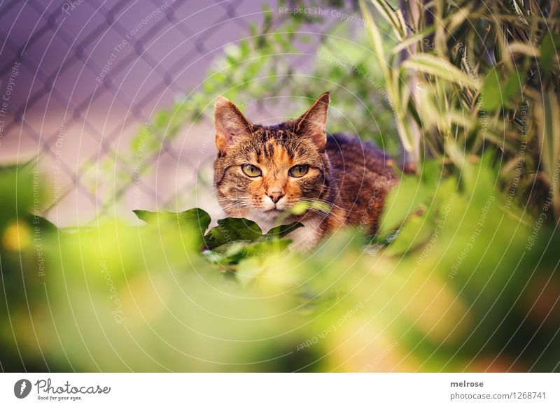Auf der LAUER ... Katze Natur Pflanze schön grün Sommer Blatt Tier gelb Gefühle Gras Garten braun Stimmung elegant Sträucher