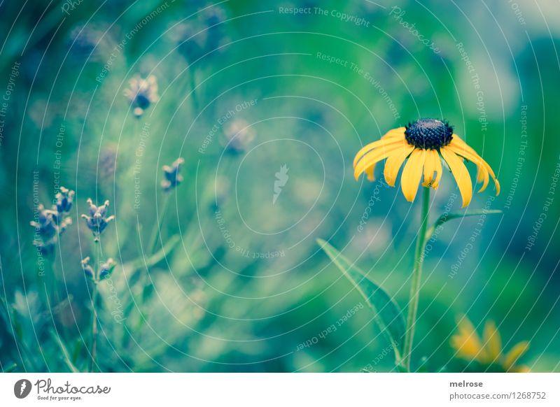 Wegesrand elegant Stil Natur Sommer Schönes Wetter Pflanze Blume Blatt Blüte Wildpflanze Sonnenhut Stauden Blütenpflanze Blütenstiel Blumenwiese Lavendel Park