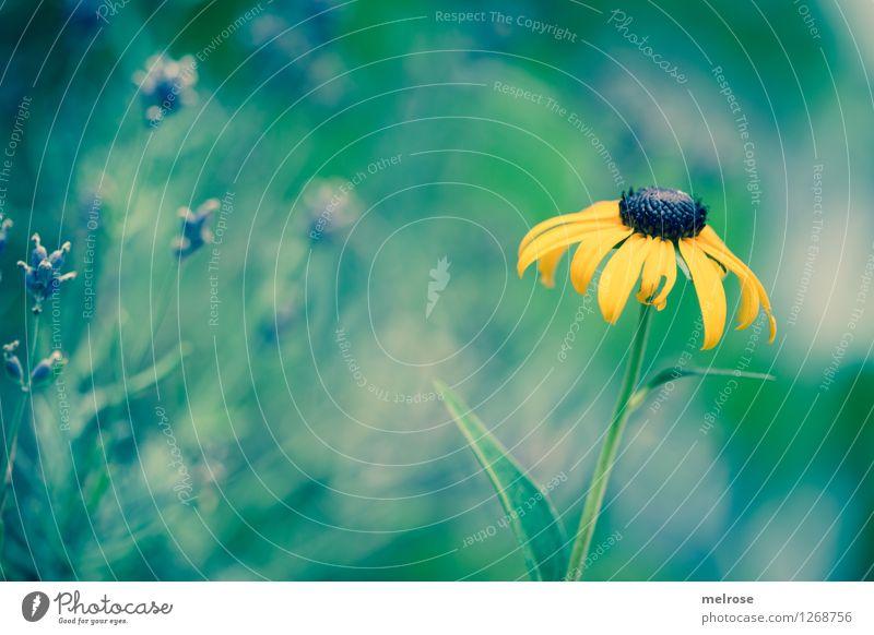 gelber Tupfer elegant Stil Natur Pflanze Sommer Schönes Wetter Blume Blatt Blüte Wildpflanze Topfpflanze Lavendel Sonnenhut Blütenknospe Garten Farbfleck