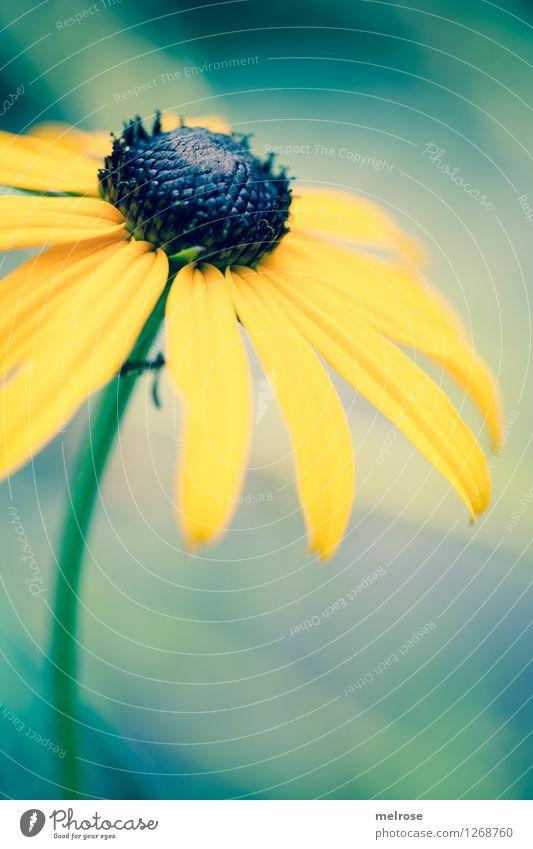 Sonnenhut Natur Pflanze grün schön Sommer Erholung Blume Einsamkeit ruhig schwarz gelb Blüte Stil Garten Stimmung träumen