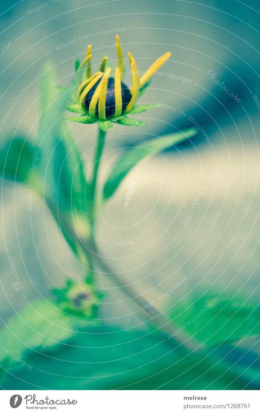 Erwachen elegant Stil Natur Pflanze Sommer Schönes Wetter Blume Blatt Blüte Wildpflanze Sonnenhut Blütenstauden Stauden Blütenstengel Blütenknospe Park Blühend