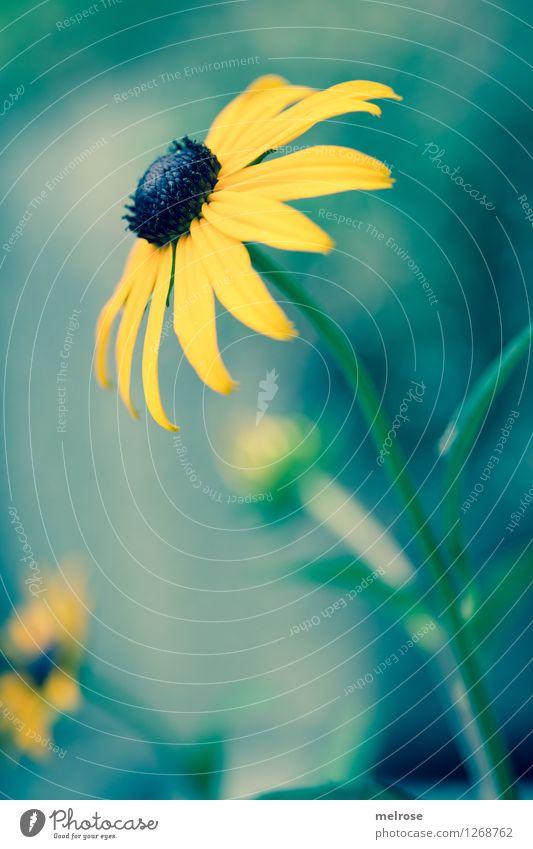 anmutig elegant Stil Umwelt Pflanze Sommer Schönes Wetter Blume Sträucher Blüte Wildpflanze Topfpflanze Sonnenhut Garten atmen Erholung genießen leuchten stehen