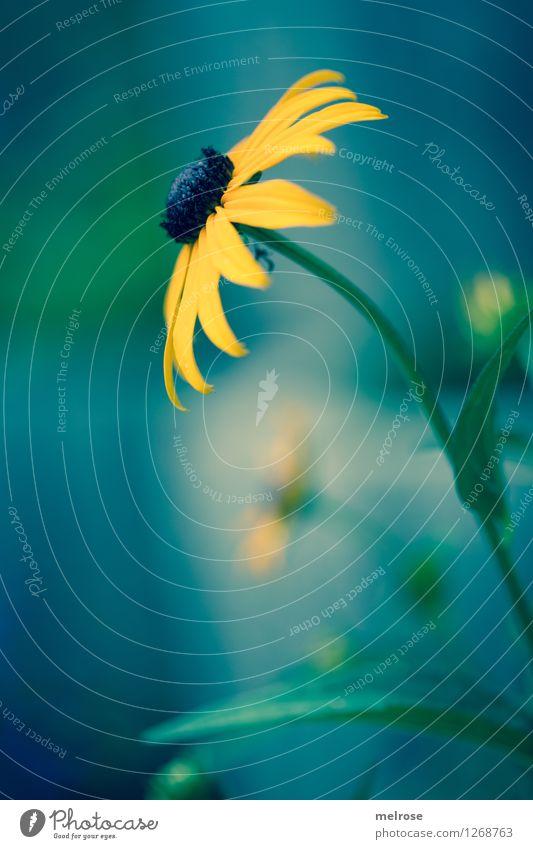 Strahlend Natur Stadt Pflanze grün schön Sommer Erholung Blume Blatt schwarz gelb Blüte Stil Garten träumen Zufriedenheit