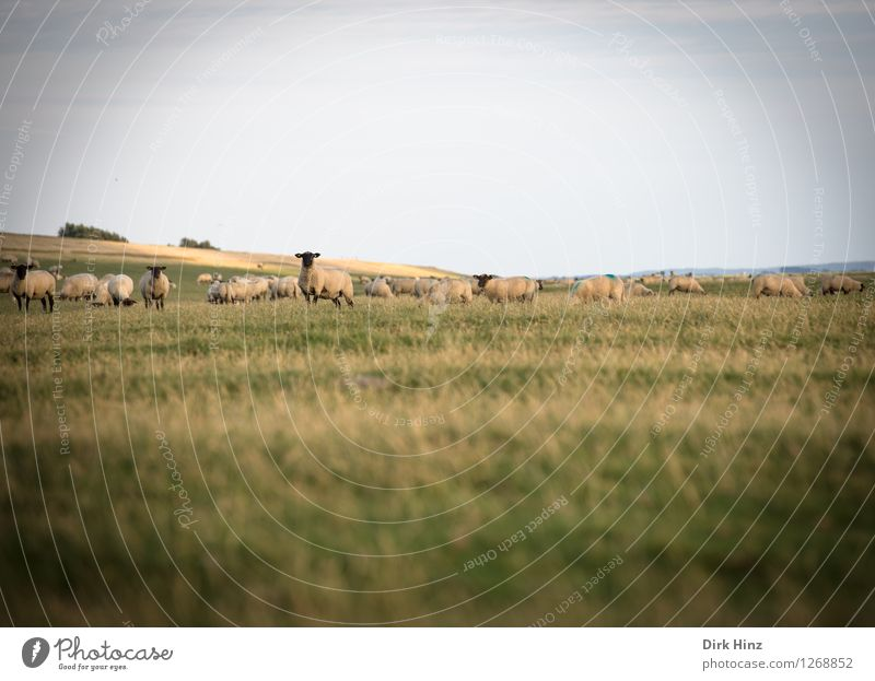 Deichschafe bei Friedrichskoog Ferien & Urlaub & Reisen Tourismus Ausflug Ferne Freiheit Sommerurlaub Meer Umwelt Natur Landschaft Pflanze Tier Himmel Horizont
