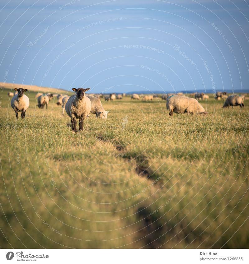 Schafe am Deich von Friedrichskoog Erholung Ferien & Urlaub & Reisen Tourismus Ausflug Ferne Freiheit Sommer Sommerurlaub Sonne Tiergesicht Tiergruppe Herde