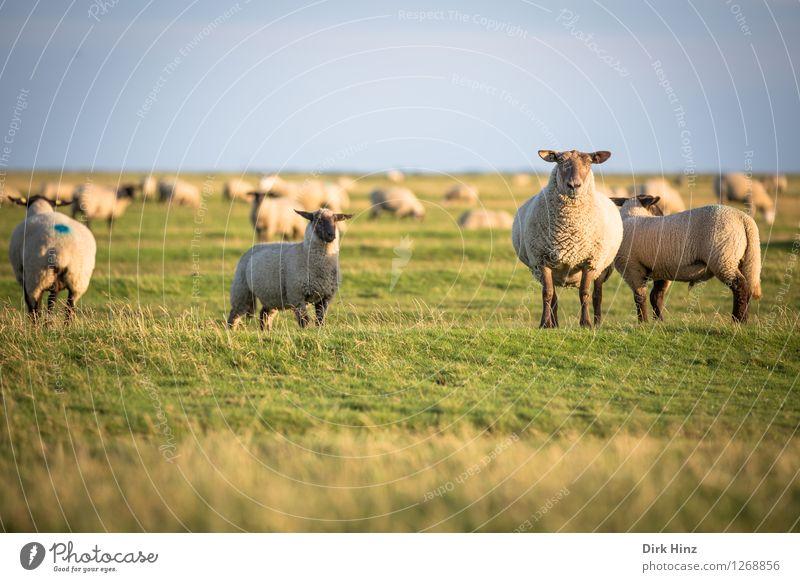 Einige Bewohner von Friedrichskoog Natur Ferien & Urlaub & Reisen blau grün Sommer Erholung Landschaft Tier Umwelt Gras Küste Freiheit Horizont Tourismus