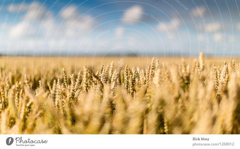 Landwirtschaft ganz nah Umwelt Natur Landschaft Pflanze Himmel Wolken Horizont Sommer Schönes Wetter Nutzpflanze Feld Unendlichkeit natürlich blau gold