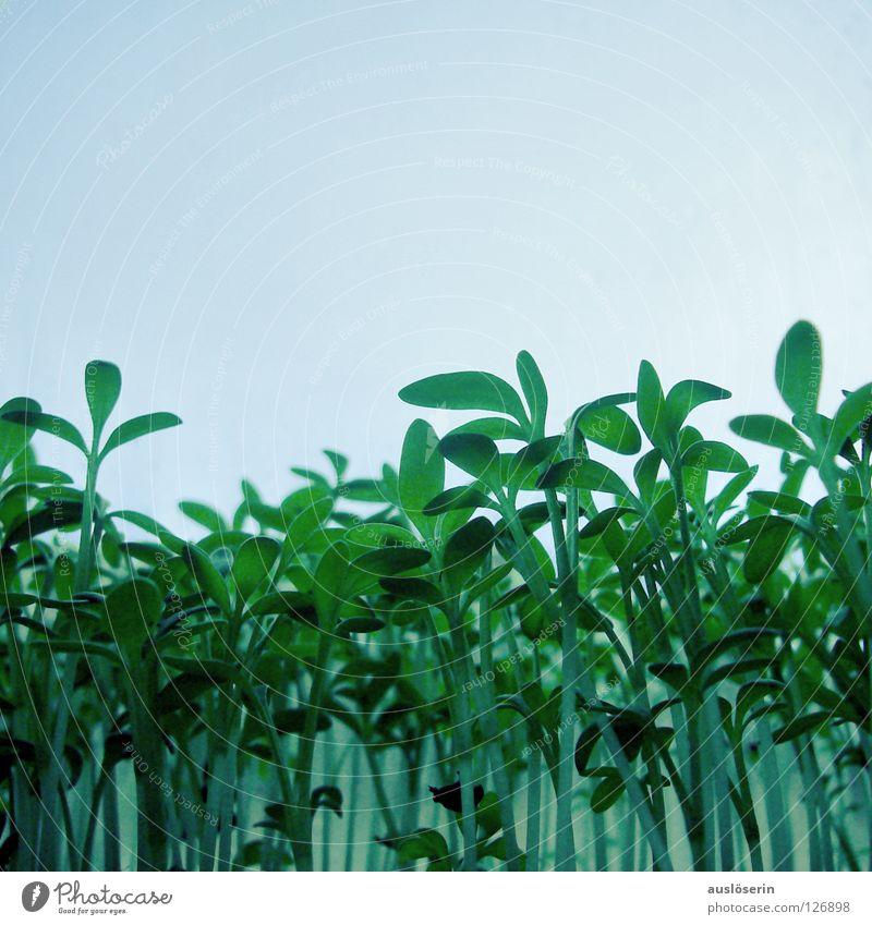 Kressewald grün Pflanze Wiese Gras hoch Gemüse Kräuter & Gewürze