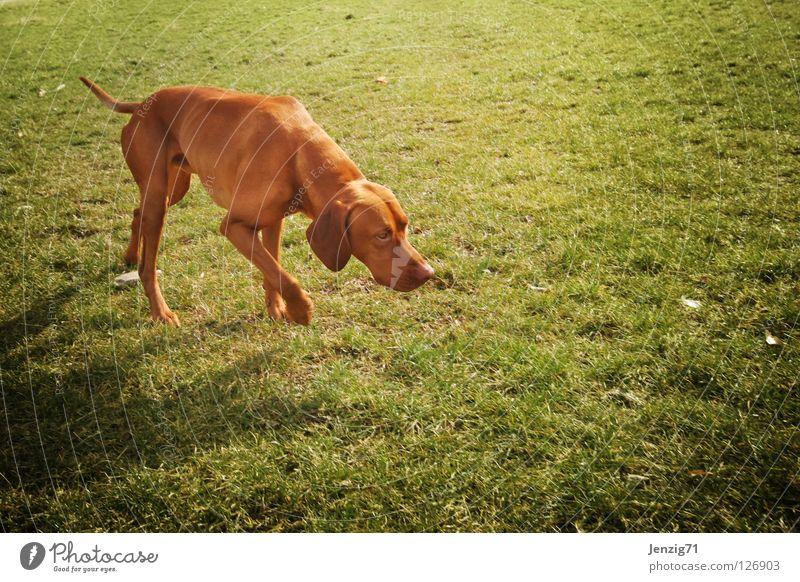 Immer der Nase nach. Natur Tier Wiese Gras Bewegung Hund Suche Spaziergang Spuren Geruch Säugetier Haustier Fährte verfolgen auslaufen