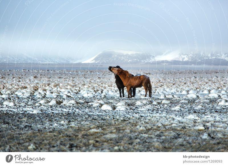 Two Icelandic horses in snowy winter landscape Ferien & Urlaub & Reisen Tier Winter Wildtier Wind Pferd rennen Küssen Island