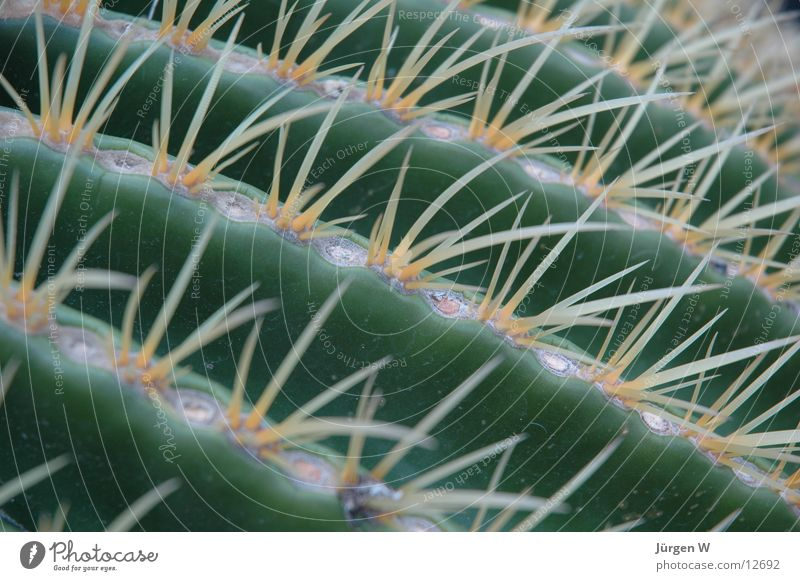 Schwiegermuttersitz grün Wüste Spitze Kaktus Stachel