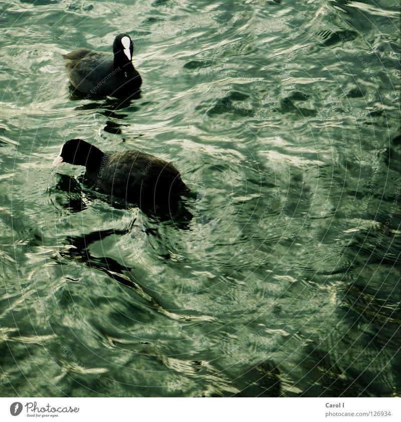 In stürmischen Zeiten blau Wasser grün weiß Tier schwarz dunkel Leben See 2 Vogel Schwimmen & Baden Zusammensein Wellen Wind Tierpaar