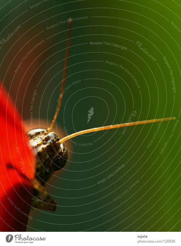 vorwitzig Tier Wildtier Tiergesicht Insekt Heuschrecke 1 festhalten braun grün rot Fühler verstecken Hochformat Farbfoto mehrfarbig Außenaufnahme Nahaufnahme