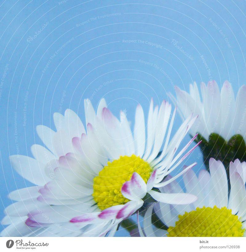 GÄNSEBLÜMCHEN II Natur blau weiß Sommer Blume Freude Frühling Glück Blüte elegant Fröhlichkeit Dekoration & Verzierung Romantik zart Blühend Blumenstrauß
