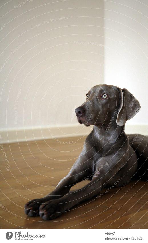 Pass auf! weiß schön ruhig Auge Wand grau Hund liegen Nase Bodenbelag niedlich beobachten Tiergesicht Wachsamkeit edel Säugetier