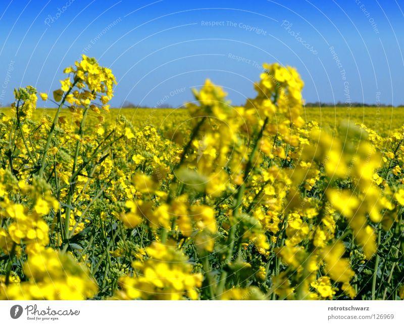 Rapsfeld Rapsblüte Pflanze Blüte gelb Feld Strukturen & Formen Sommer Landwirtschaft Reifezeit Hintergrundbild Biokraftstoff Diesel Biodiesel Brandenburg
